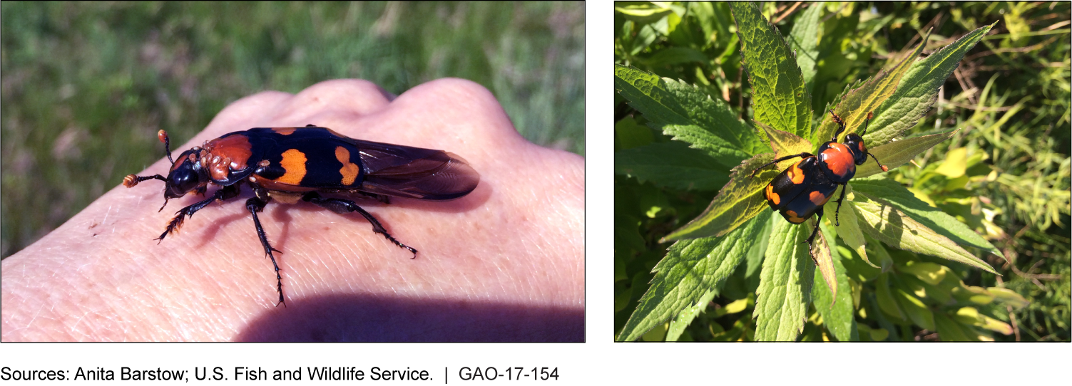 Side by side photos of the American Burying Beetle showing its wings and orange-red markings.