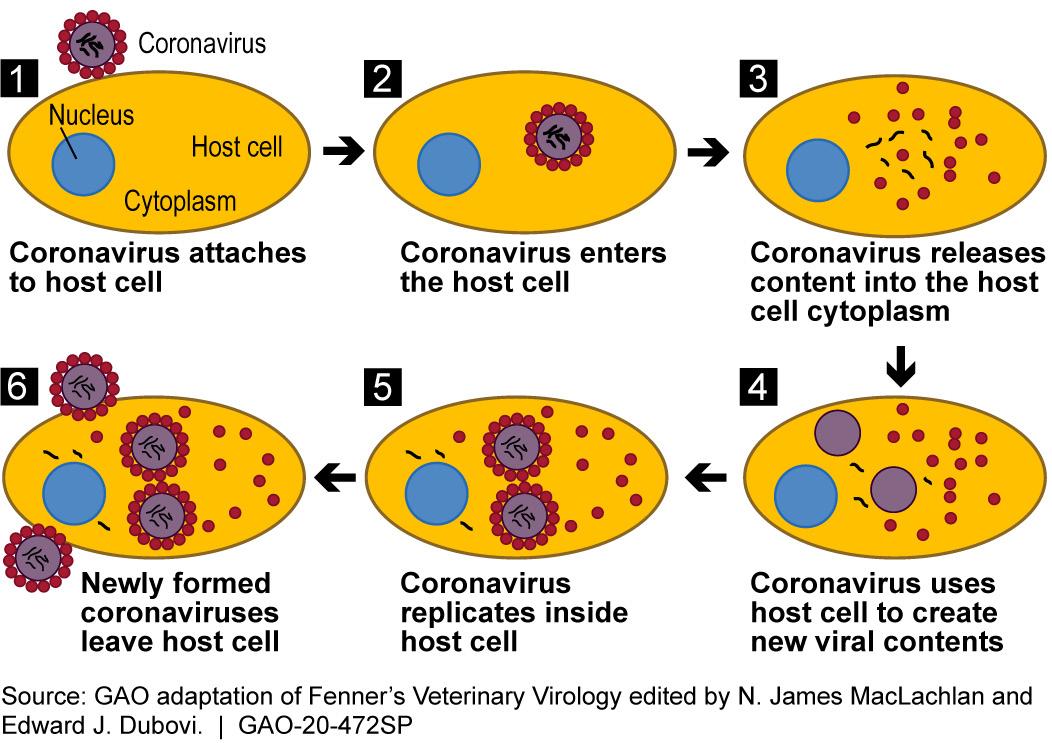 animal causing coronavirus