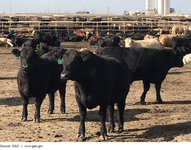 Cattle in a feedlot.