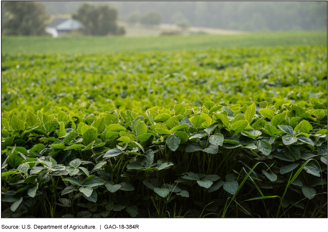 Photo of a soybean field.