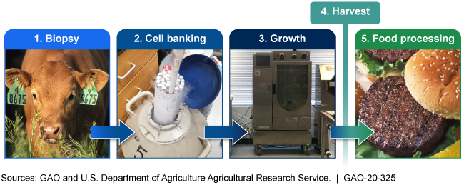 Illustration of the 5 phases of cell-cultured meat production are biopsy, cell banking, growth, harvest, and food process